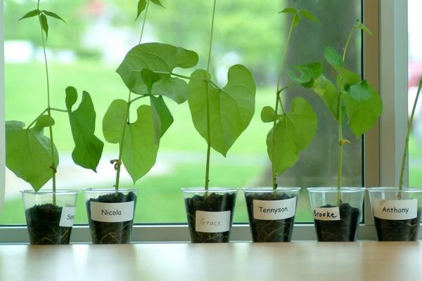 Выгоднее всего выращивать раннеспелые сорта спаржевой кустовой фасоли