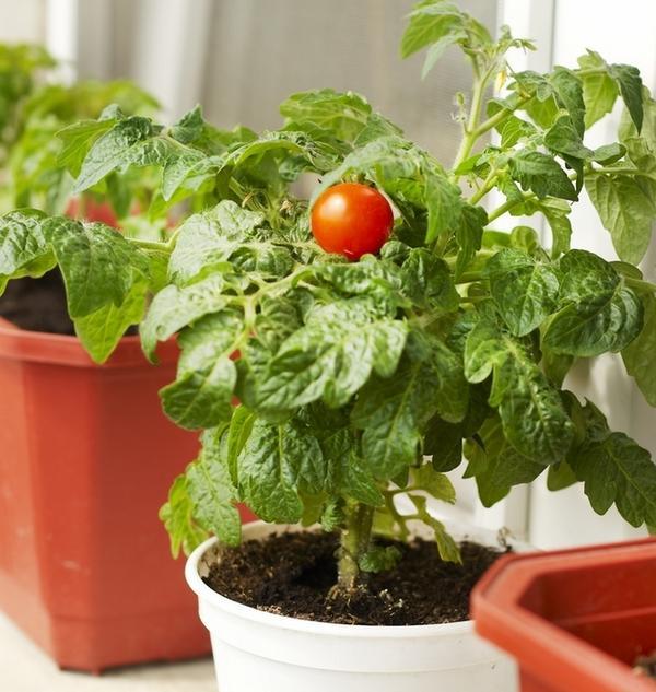 Уход за домашними томатами имеет мало отличий от ухода за ними на даче или приусадебном участке