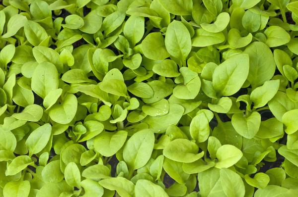 Из простых семян всходы появляются на 4-6 день, а из дражированных - на 2 дня позднее