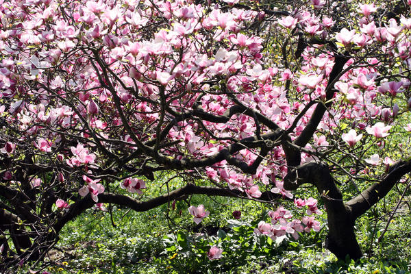 Магнолия - дерево с невероятно прекрасными цветами, которое украсит ваш сад
