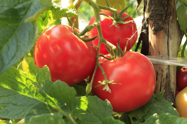 У томатов средние требования к содержанию азота