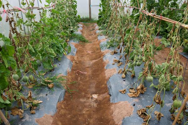 Беда в том, что больные растения попадают в компост