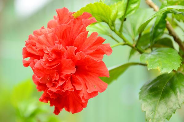 Махровый гибискус Special red
