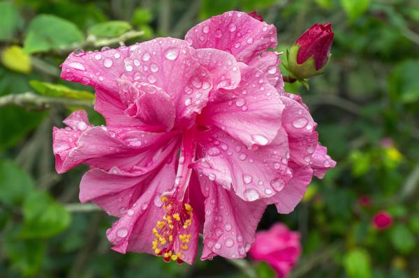 Розовый гибискус в национальном парке Вьетнама