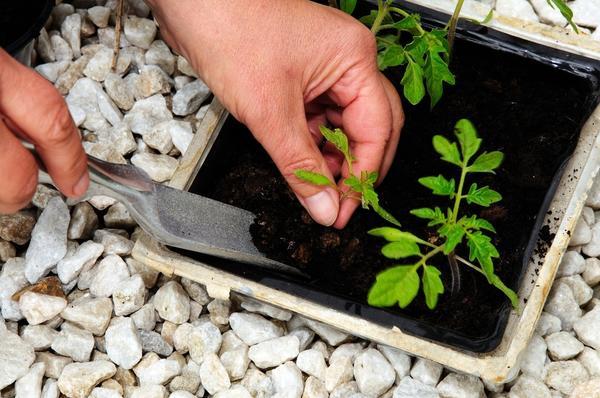 Пикировку рекомендуют проводить, когда у растения сформируются 1-3 настоящих листа
