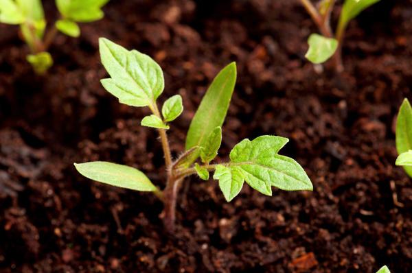 При пикировке сеянцы заглубляют практически до семядольных листьев