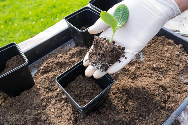 Большинство растений правильно выполненную пикировку переносят хорошо