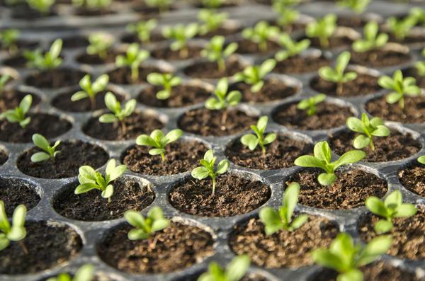 Неудачной процедурой можно погубить растения