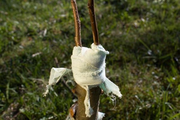 Прививка плодовых деревьев может решить массу разных проблем на садовом участке