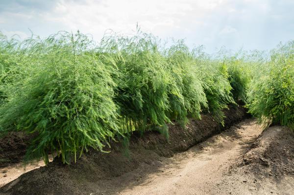 Каждый год после того, как вы собрали урожай спаржи, растения необходимо подкормить