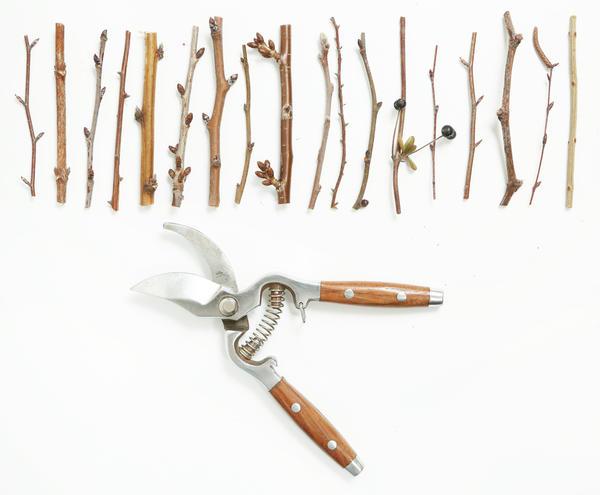 Черенки нарезают с проверенных на сортность и урожайность устойчиво плодоносящих деревьев и кустарников