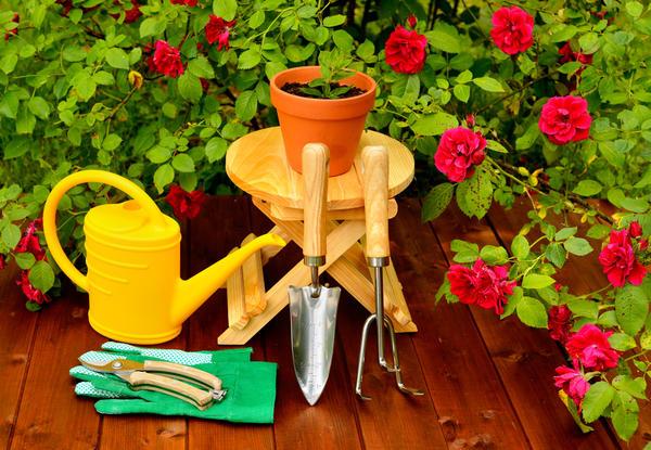 Весной розу можно пересадить в керамический горшок большего размера и вынести в сад