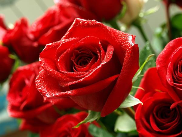 В букеты, как правило, включают очень красивые розы, часто они редких сортов