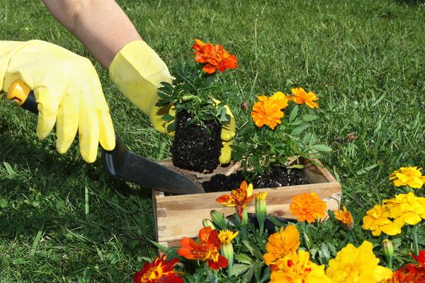Если выращивать нет возможности или желания, можно рассаду купить