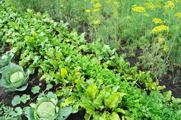 При планировании грядок учитываем совместимость растений
