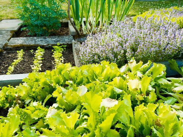 Аптекарский огород традиционно сочетает пользу и красоту