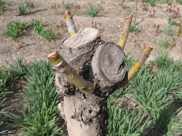 Место прививки на растении-подвое можно выбрать в любой части