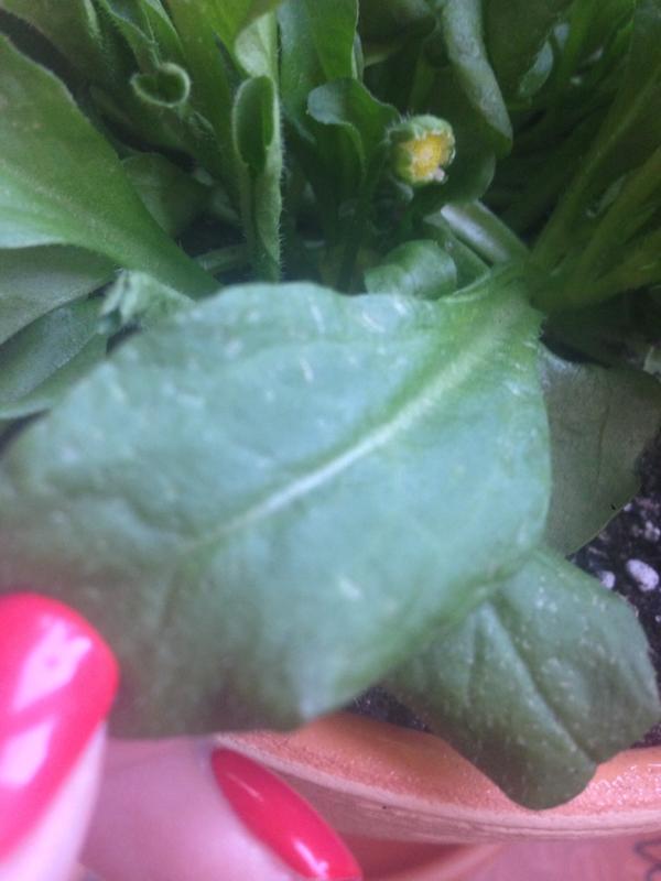 маргаритка, фото от читателя