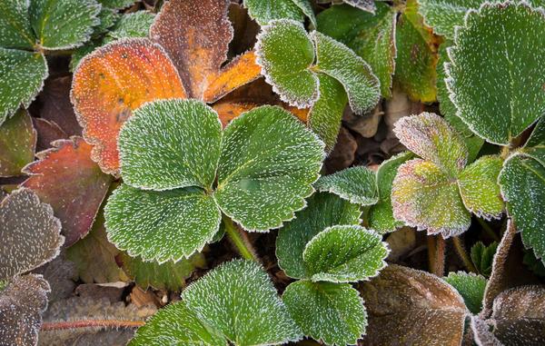 Максимально сгладить негативное влияние возвратных заморозков на клубничную (земляничную) грядку тоже реально