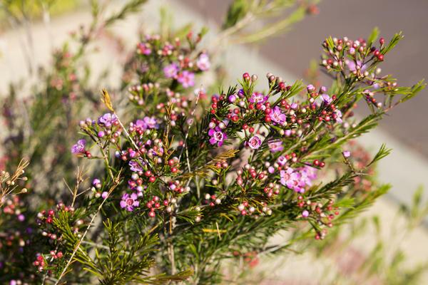 Хамелауциум крючковатый (Chamelaucium uncinatum), Западная Австралия