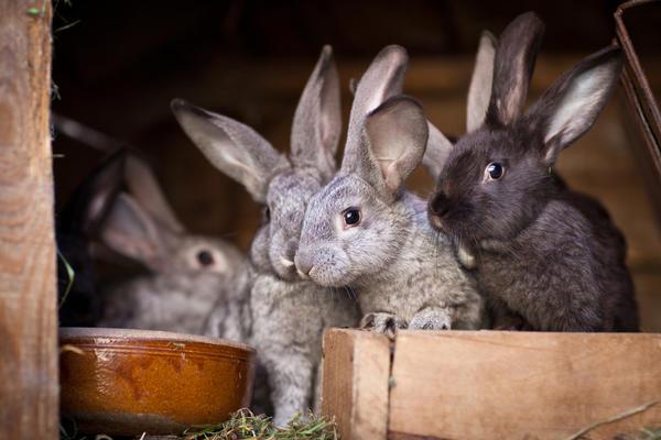 Лучшее место для содержания кроликов - специально оборудованный вольер
