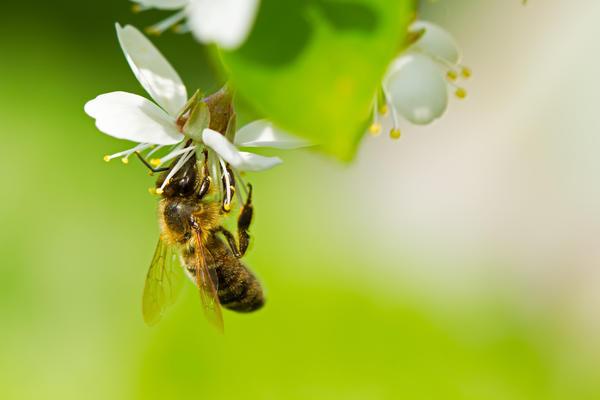 Основные помощники цветов в этом процессе - насекомые, в частности, пчелы