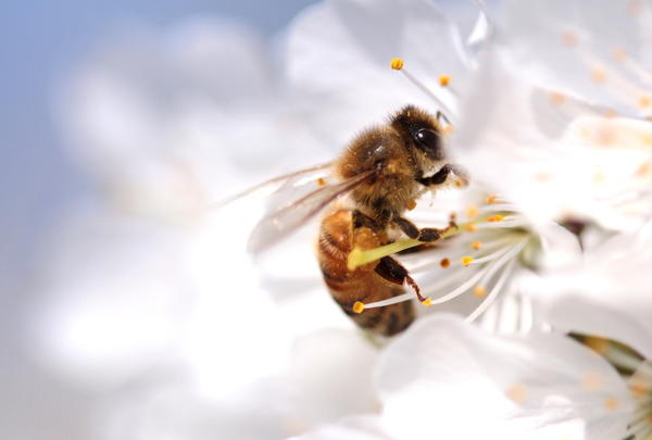 Пыльца предназначена для опыления растений