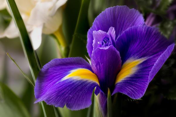 Если верить древней легенде, свое загадочное имя ирис получил от греческой богини радуги Ириды