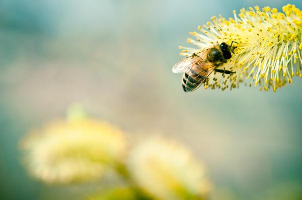 В составе пыльцы обнаружены практически все нужные человеку аминокислоты, витамины и минеральные вещества