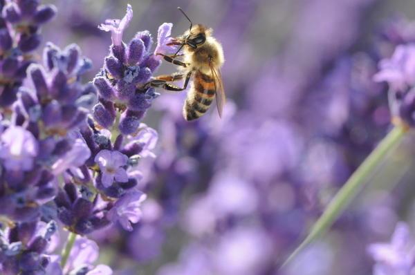 Благодаря способу переноски - в корзиночках на задних лапах - такую пыльцу часто называют обножкой
