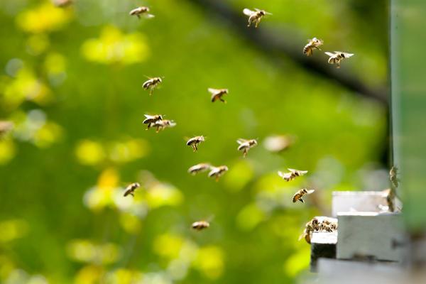 Пыльцу, скатанную в шарики, пчела переносит в улей