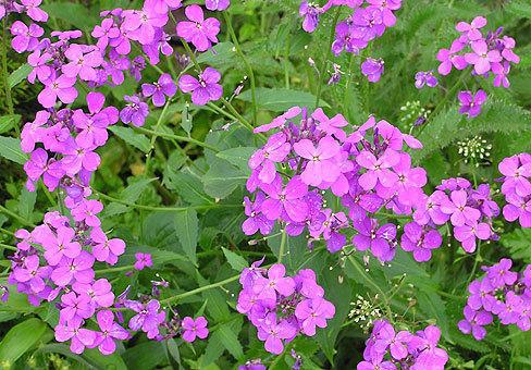 вечерница. фото с сайта http://www.plantopedia.ru