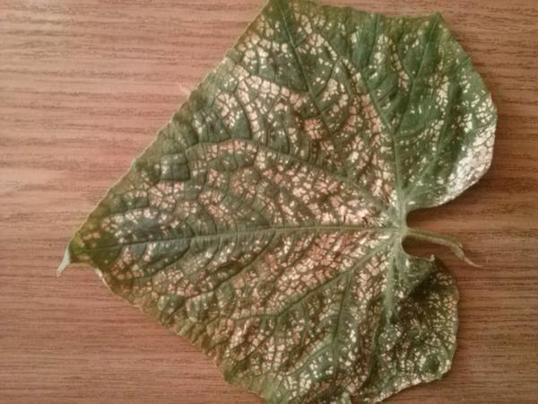 листья огурца