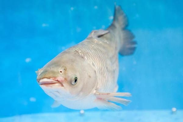 Белый толстолобик в воде
