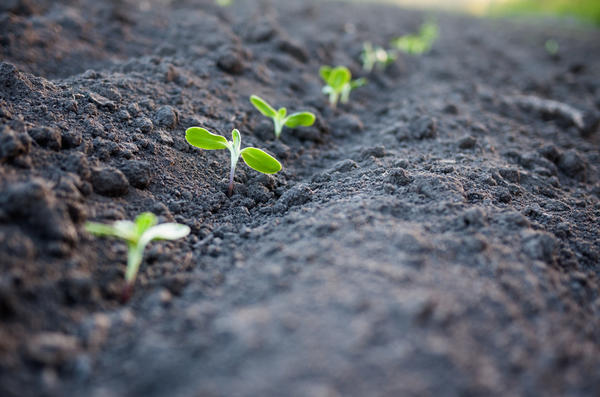 Самая распространенная ошибка среди огородников - это удаление всхода независимо от его размера и качества