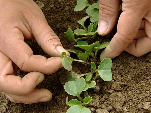 Агротехника многих садовых и огородных культур требует прореживания всходов