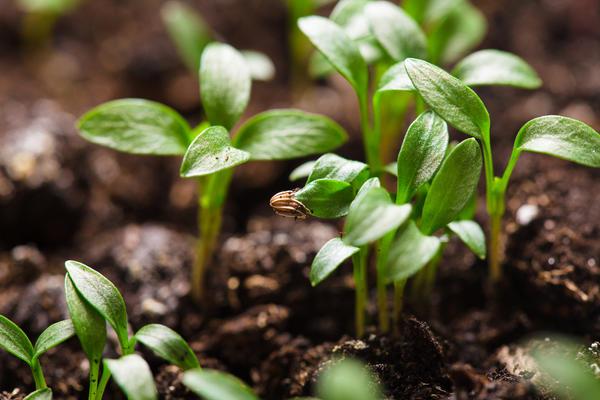 Удалять лишние ростки обычно рекомендуется в два этапа