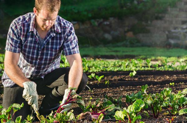 Обязательно нужно проредить все овощные и кормовые корнеплоды
