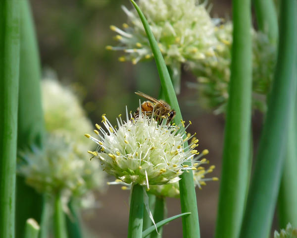 Пчела на цветущем репчатом луке
