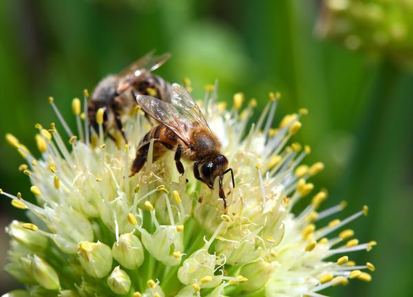 Пчела на цветке лука