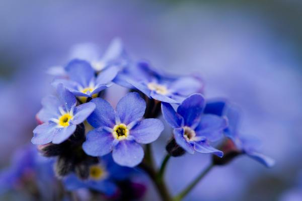 Кажется, что в каждой европейской стране знают этот голубой цветок с желтым глазком