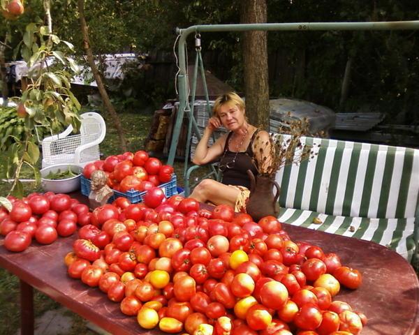 урожай помидоров Вашей фирмы. 17.08.15 г