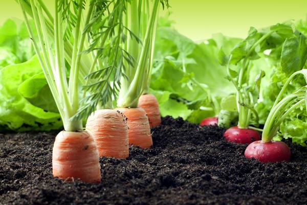 При нерегулярном, но обильном поливе корнеплоды редиса, моркови, свеклы растрескиваются.
