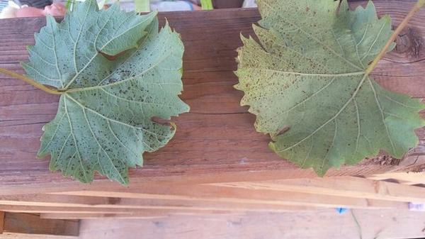 пораженные листья винограда