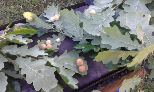 На листьях дуба появились шарики. Что это?