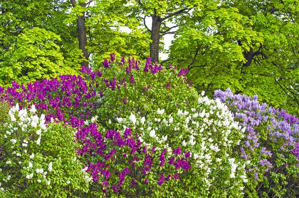 Типичный русский колорит передают душистые кустарники: жасмин и сирень