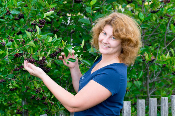 Убирать черноплодную рябину нужно только днем, когда уже спадет роса, и исключительно в сухую погоду
