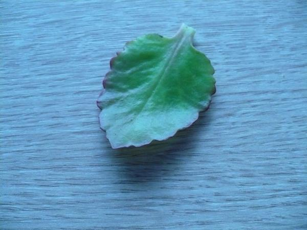 лист каланхоэ