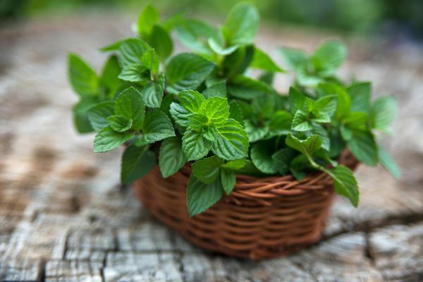 Мяту перечную добавляют в чай, чтобы придать ему приятный освежающий вкус и аромат