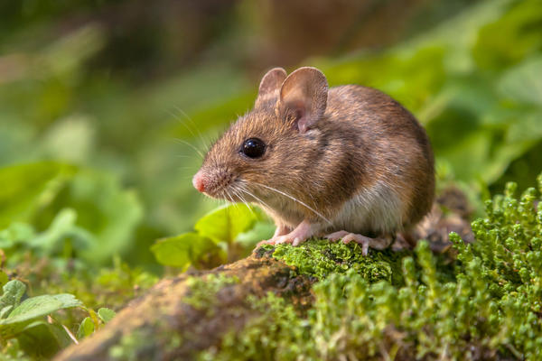 Мята от мышей